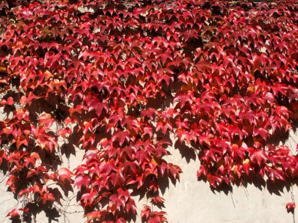 Jungfernrebe mit Herbstfärbung