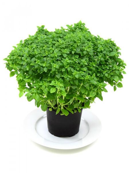 Kleinblättriges Basilikum, Ocimum basilicum