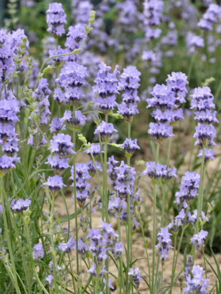 Lavandula x intermedia 'Grappenhall' (Pale Pretender), Riesen-Lavendel, Provence-Lavendel