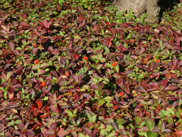 Cornus canadensis, Teppich-Hartriegel