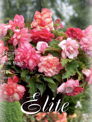 Zwergbegonie 'Pink Wave', Begonia grandiflora (Art.Nr. 520918)