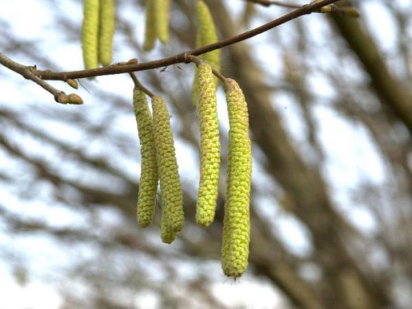 Corylus avellana, Haselnuss, Waldhasel