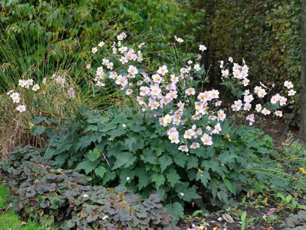Die Herbstanemone 'September Charm'