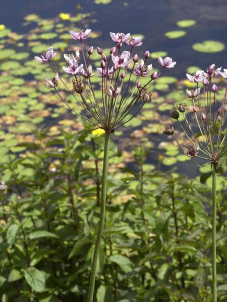 Butomus umbellatus, Schwanenhals, Blumenbinse