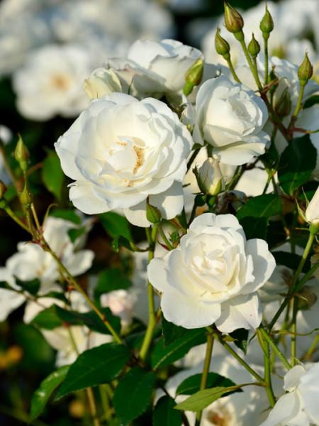 Blüte der Rose Schneewittchen