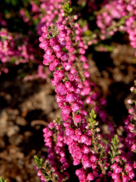Blütenstand der Besenheide 'Jana'