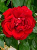 Rose Jugendliebe ® - Kordes