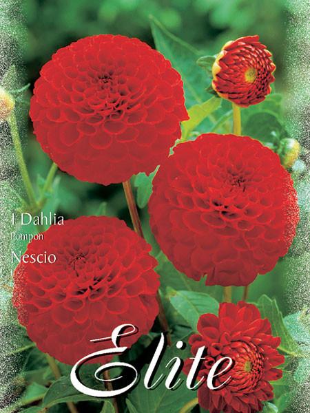 Pompon-Dahlie 'Nescio', Dahlia (Art.Nr. 520450)