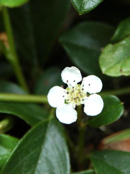 Die Blüte der Teppichmispel