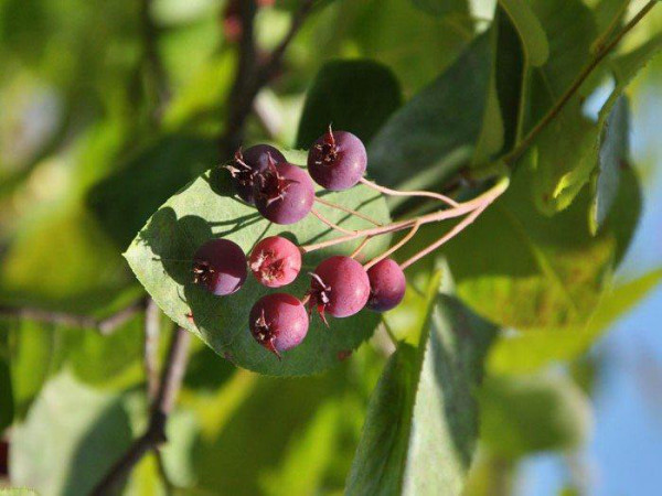 Früchte der hängenden Felsenbirne