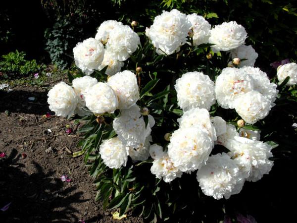 Paeonia officinalis 'Alba Plena', echte Bauern-Pfingstrose
