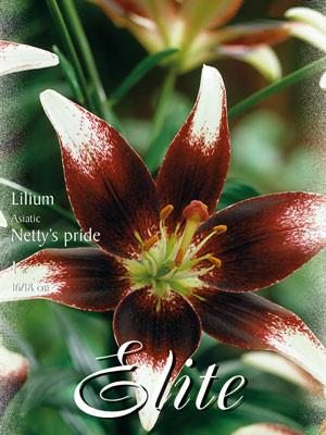 Asiatische Lilien-Hybride 'Netty's Pride' (Art.Nr. 597083)