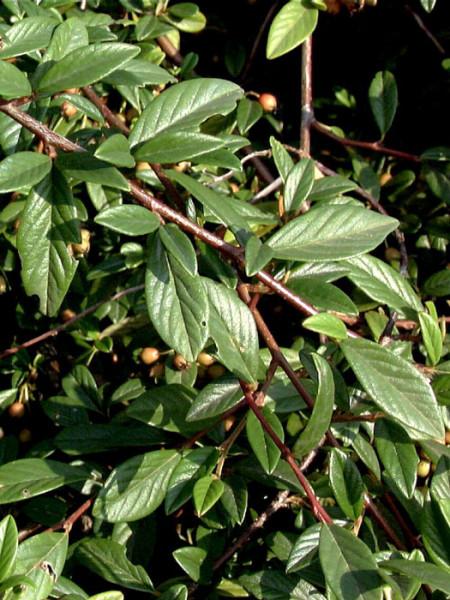 Längliche, dunkelgrüne Blätter der Kriechmispel 'Parkteppich'
