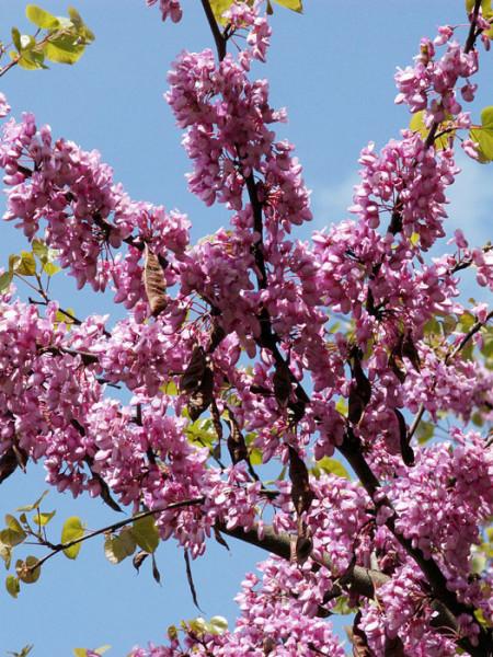 Blüte des Judasbaum