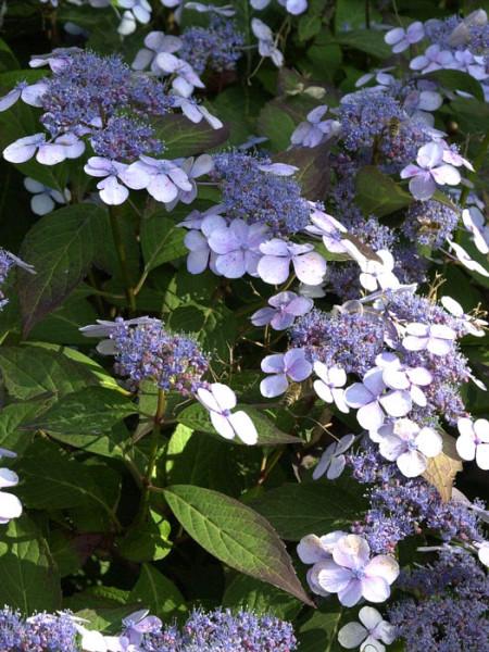 Teller-Hortensie Bluebird