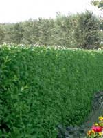 Ligustrum ovalifolium, Ovalblättriger Liguster - wintergrün