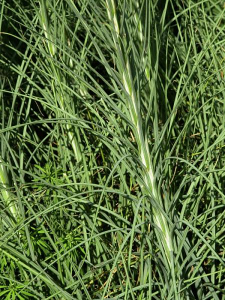 Asphodeline lutea, Junkerlilie