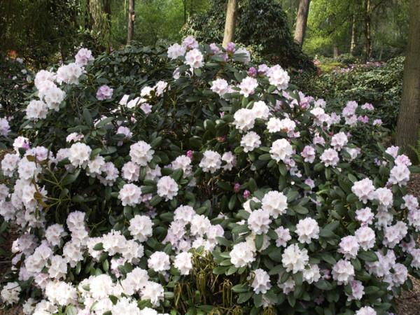 Rhododendron yak. 'Schneekrone' INKARHO®