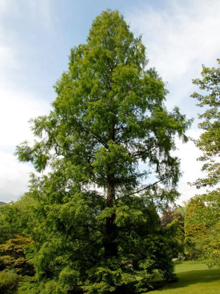 Der imposante Urweltmammutbaum