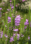 physostegia-bouquet-rose56d97b204ddff
