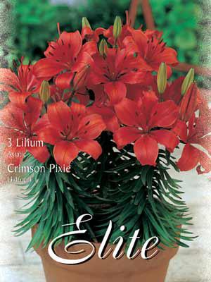 Topf- und Beet-Lilie 'Crimson Pixie', Lilium (Art.Nr. 521774)