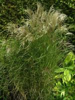 Miscanthus sinensis 'Kleine Fontäne', China-Schilf