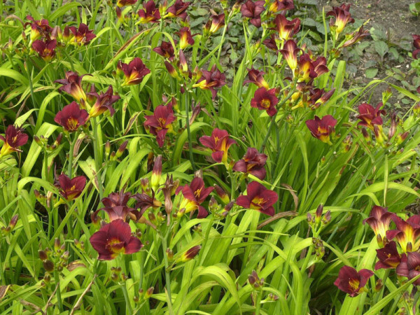 Hemerocallis Hybride 'Little Joy', Taglilie
