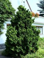 Chamaecyparis obtusa 'Nana Gracilis', Kleine Muschelzypresse