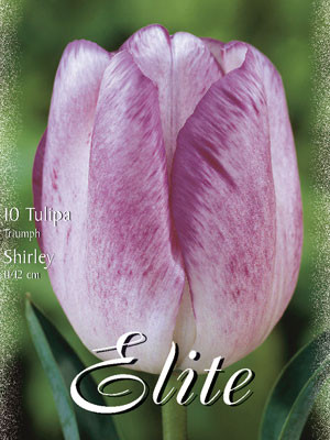 Triumph-Tulpe 'Shirley' (Art.Nr. 595260)