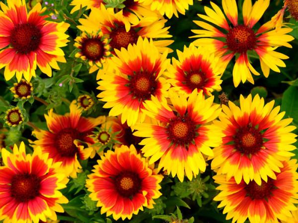 Reiche Blütenpracht der Kokardenblume 'Kobold'