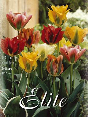 Viridiflora Tulpen-Prachtmischung (Art.Nr. 595630)