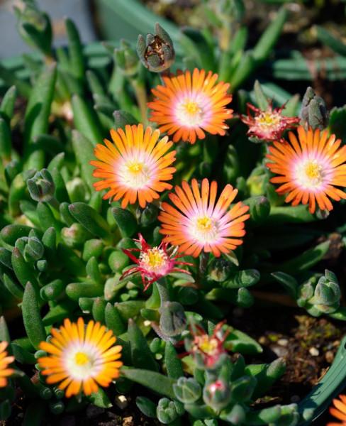 Delosperma Hybride 'Jewel of Desert Topaz', Mittagsblume