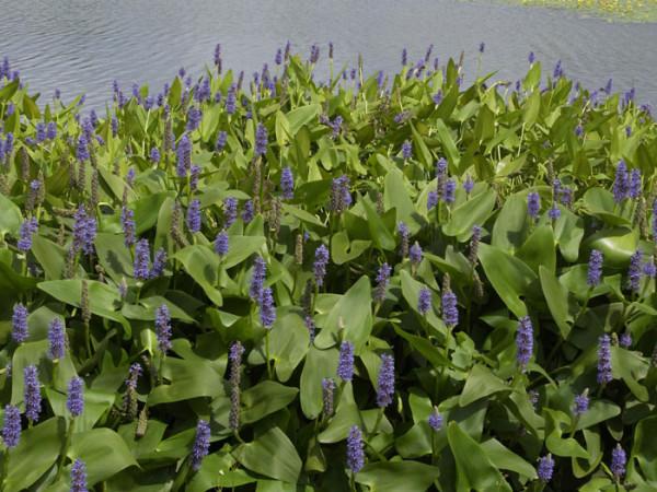 Pontederia cordata, herzblättriges Hechtkraut