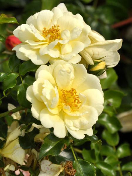 Blüte der Rose Sunny Rose