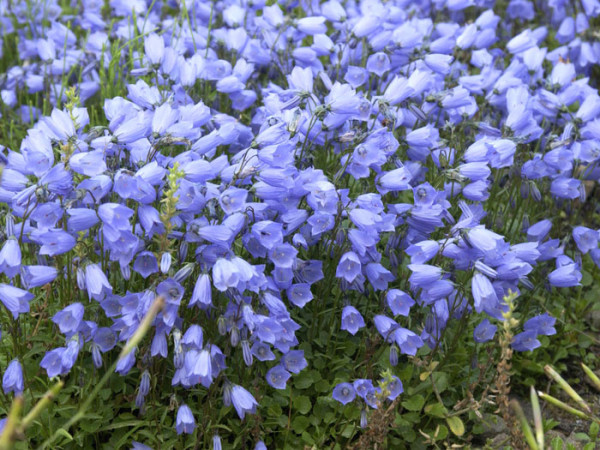 Campanula cochleariifolia (M), Zwergglockenblume, Gartenglockenblume