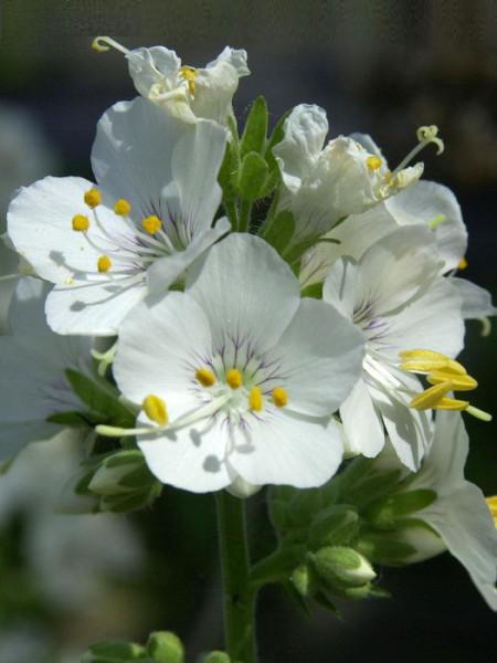 Polemonium caeruleum 'Album', Jakobsleiter, Himmelsleiter, Sperrkraut