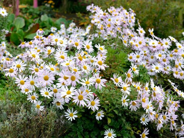 Dendranthema arcticum 'Roseum' Grönlandmargerite, Arcanthemum