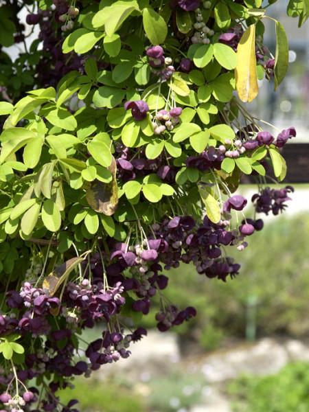 Blatt und Blüte der Klettergurke