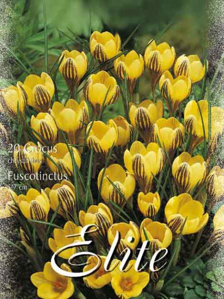 Frühjahrsblühender Krokus 'Fuscotinctus' (Art.Nr. 596210)