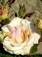 Rose Caramella ® - Kordes