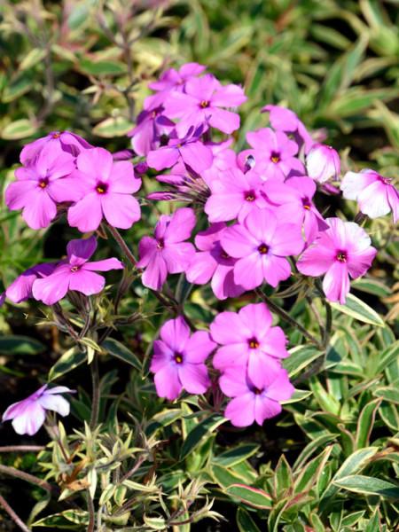 Phlox x procumbens 'Variegata' (M), Kriechende Garten-Flammenblume