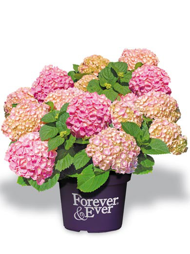 Hortensie Forever & Ever Double Pink