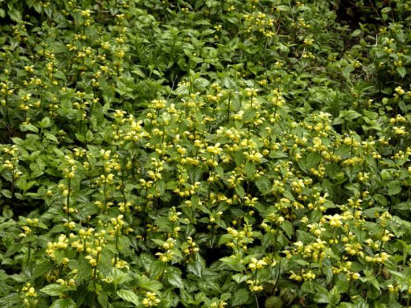 Lamiastrum galeobdolon 'Florentinum', Goldnessel, florentiner Goldnessel