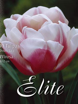 Gefüllte späte Tulpe 'Wirosa' (Art.Nr. 595420)