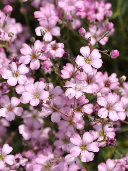 Blüten des Zwergschleierkrauts 'Rosea'