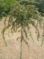 Cotoneaster dammeri 'Coral Beauty', Kriechmispel