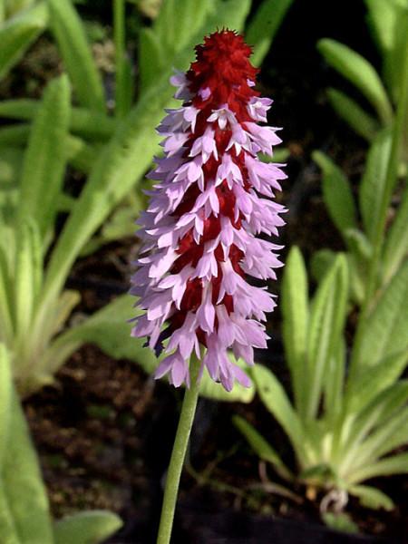 Primula vialii, Orchideen-Primel