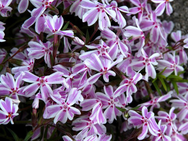 Phlox subulata 'Candy Stripes', Polster-Phlox Teppich-Phlox, Teppich-Flammenblume