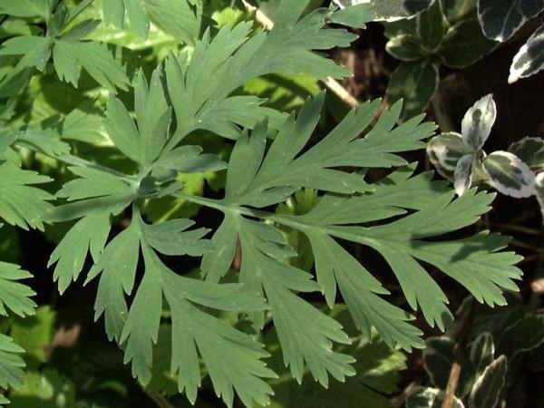 Dicentra eximia 'Alba', Weiße Herzblume, Zwerg-Herzblume