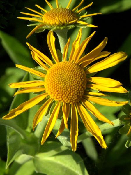 Helenium hoopesii, Frühsommer-Sonnenbraut